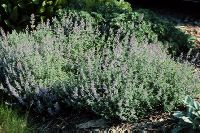 Catmint, Creeping